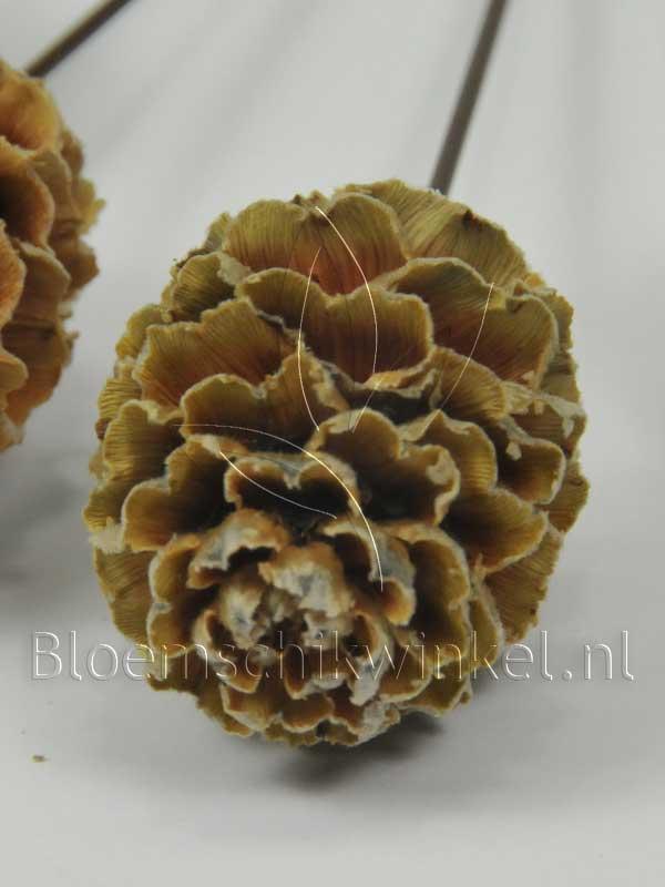 Materialen voor bloemschikken, leucadendron galapini, close up