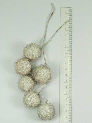 plataanballetjes wit