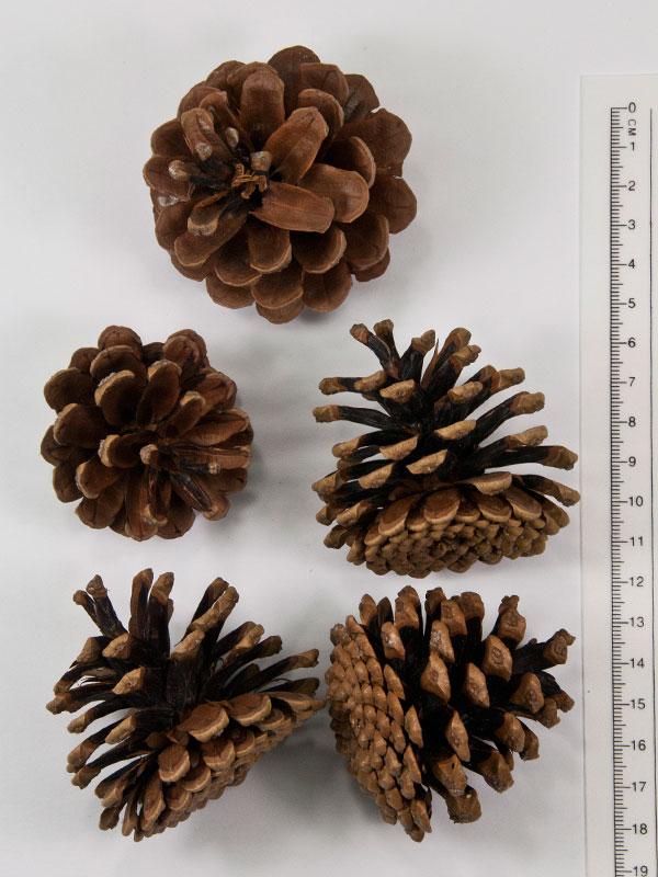 Decoratiemateriaal: Dennenappels pinus nigra