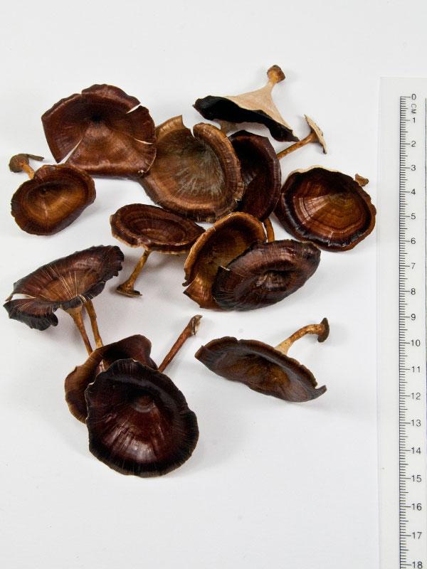 Golden mushrooms 13 stuks