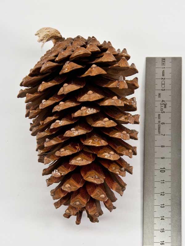 pinus maritima is een grote decoratieve dennenappel