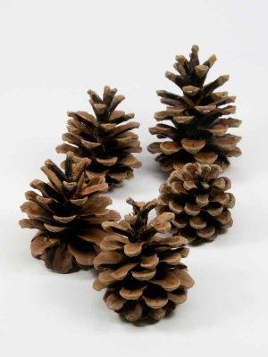 dennenappel pinus nigra naturel 5 stuks