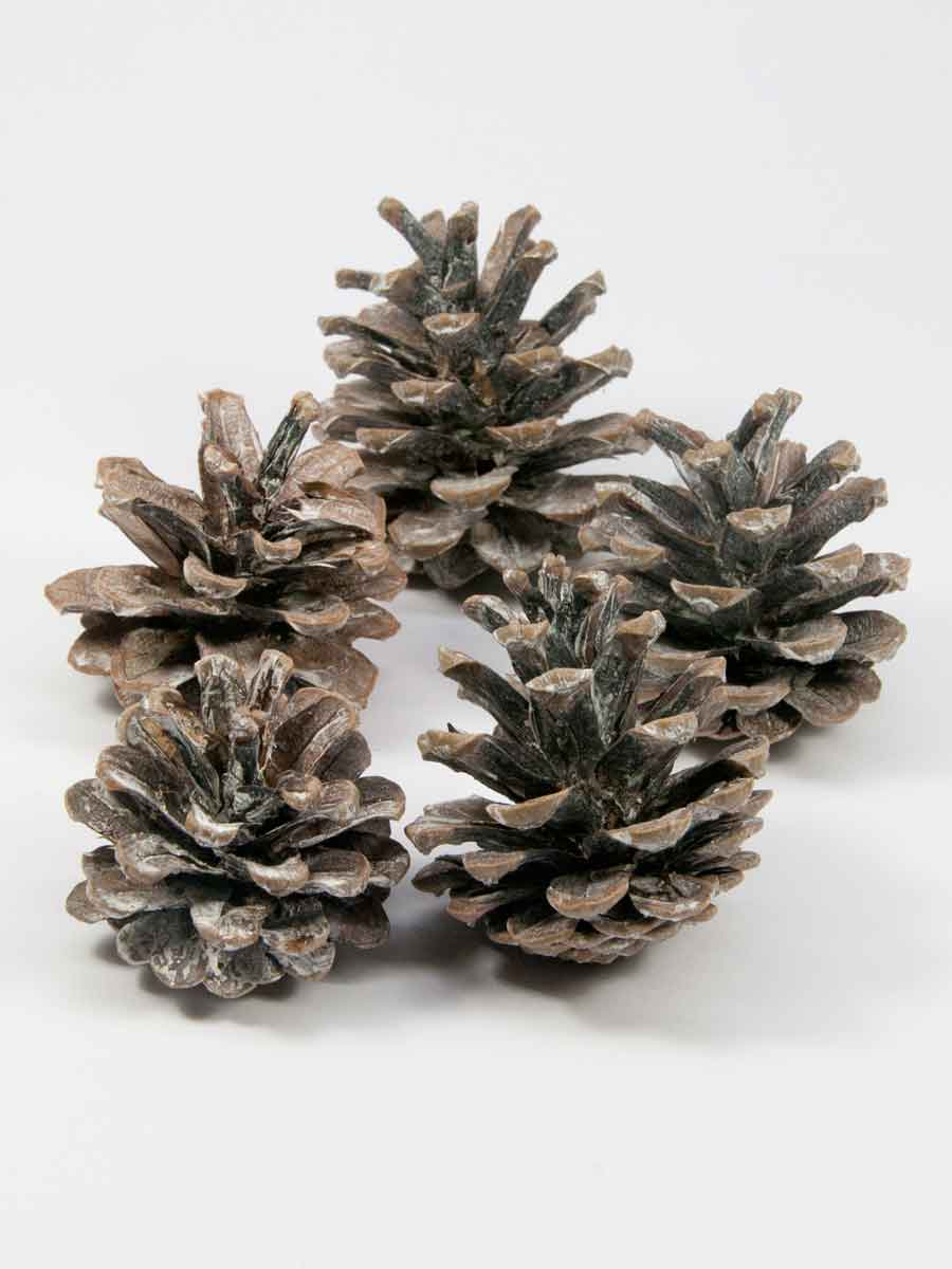 dennenappels pinus nigra white washed 5 stuks