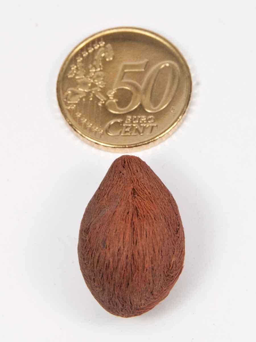 de andaman amra vergeleken met een munt van 50 eurocent