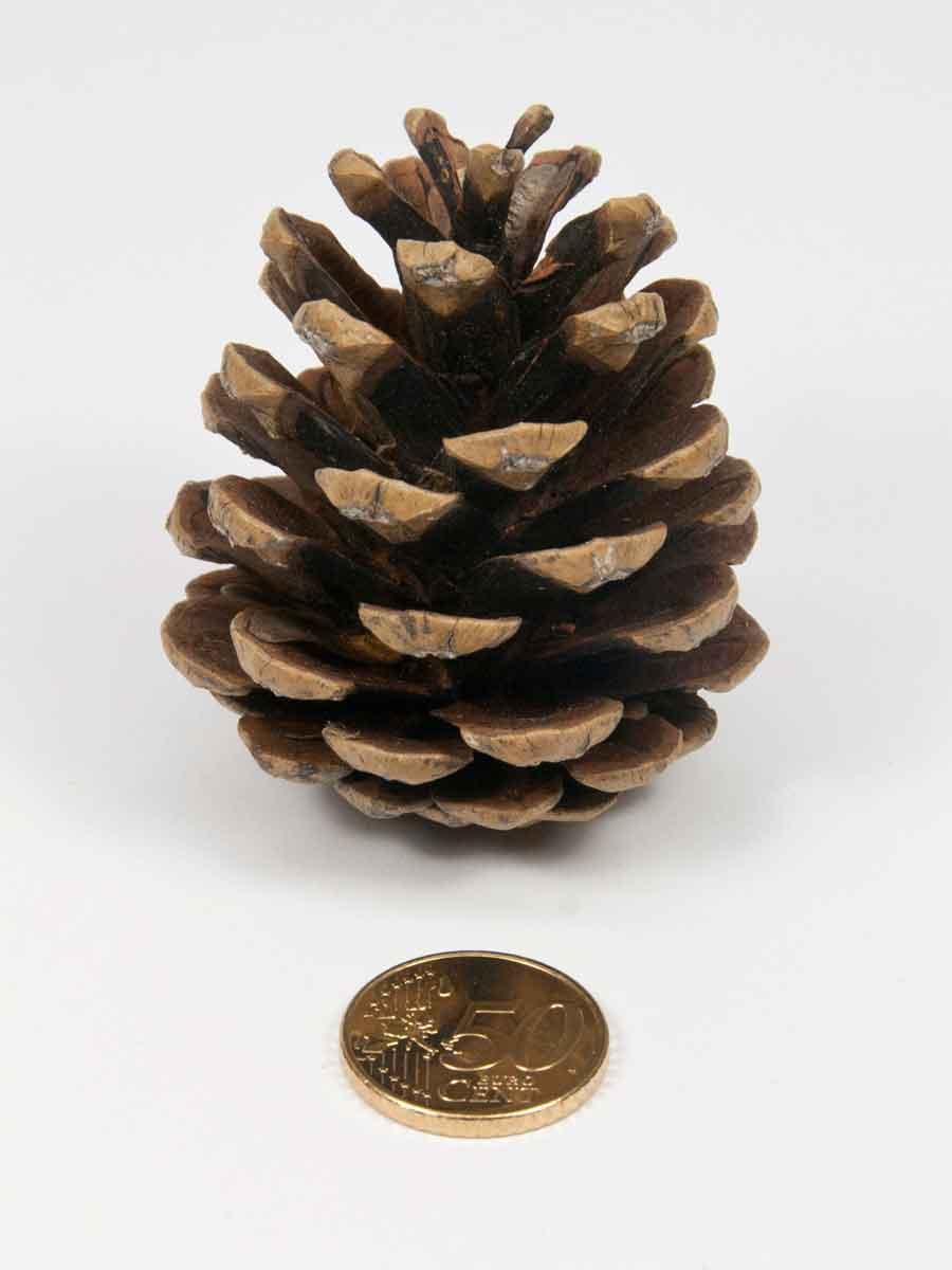 De grootte van de dennenappel naturel vergeleken met 50 eurocent