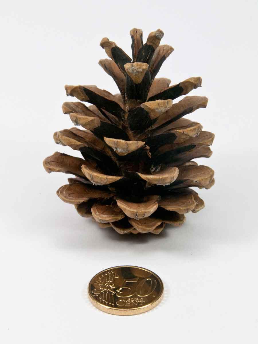 De grootte van dennenappel pinus nigra vergeleken met munt van 50 eurocent