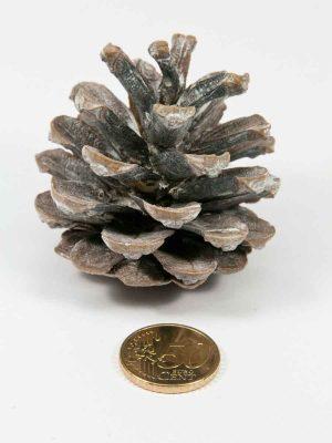 De grootte van dennenappel pinus nigra white washed vergeleken met munt van 50 eurocent