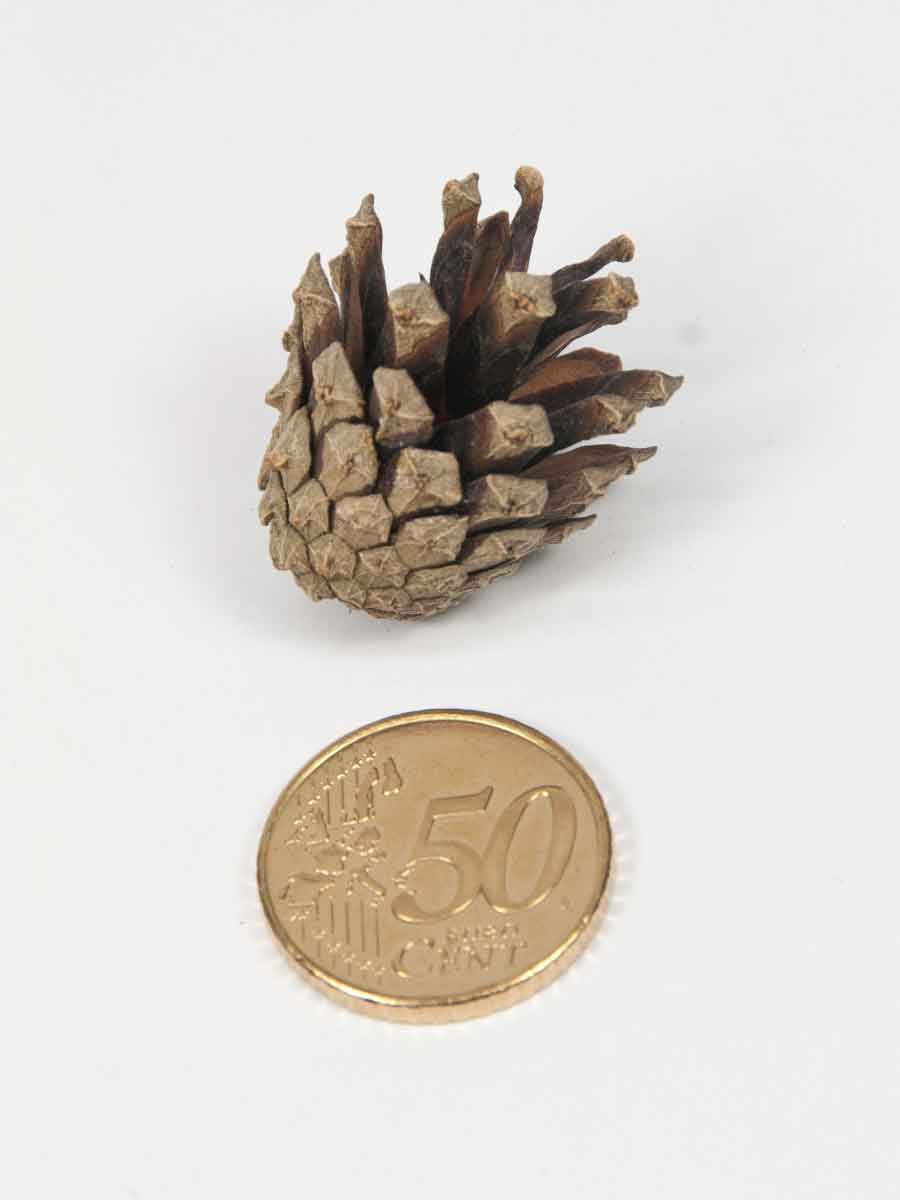 De grootte van de dennenappel sylvester naturel vergeleken met een munt van 50 eurocent