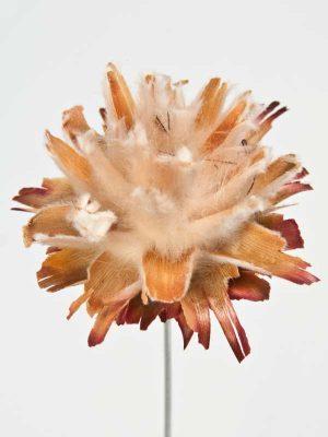 plumosum close up