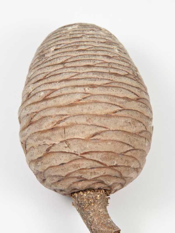 ceder cone close up