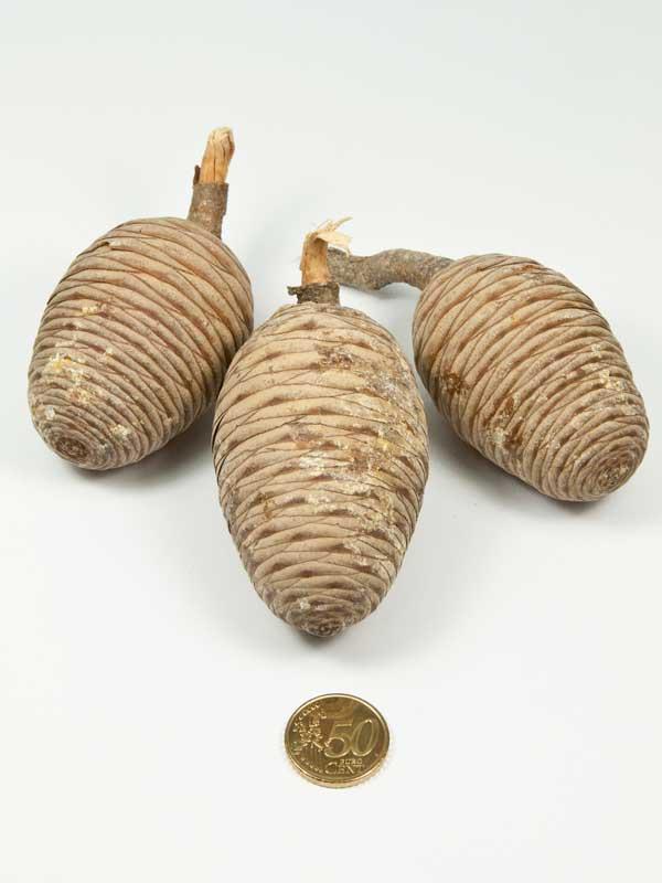 hoe groot zijn de ceder cones