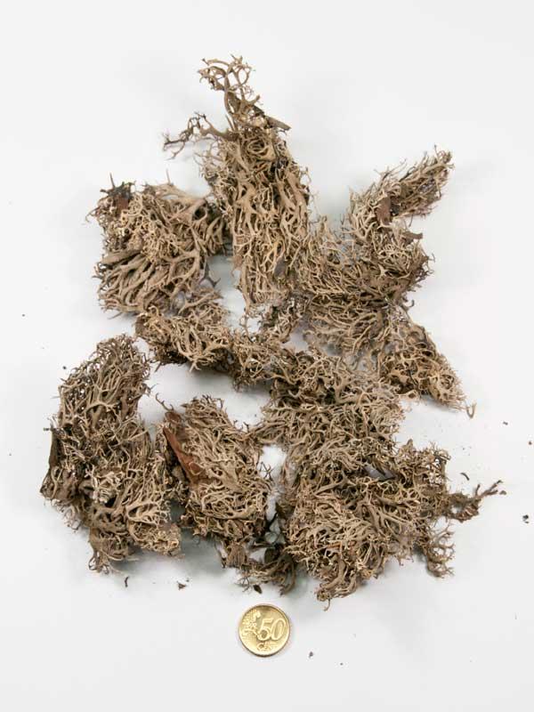boommos vergeleken met 50ct munt